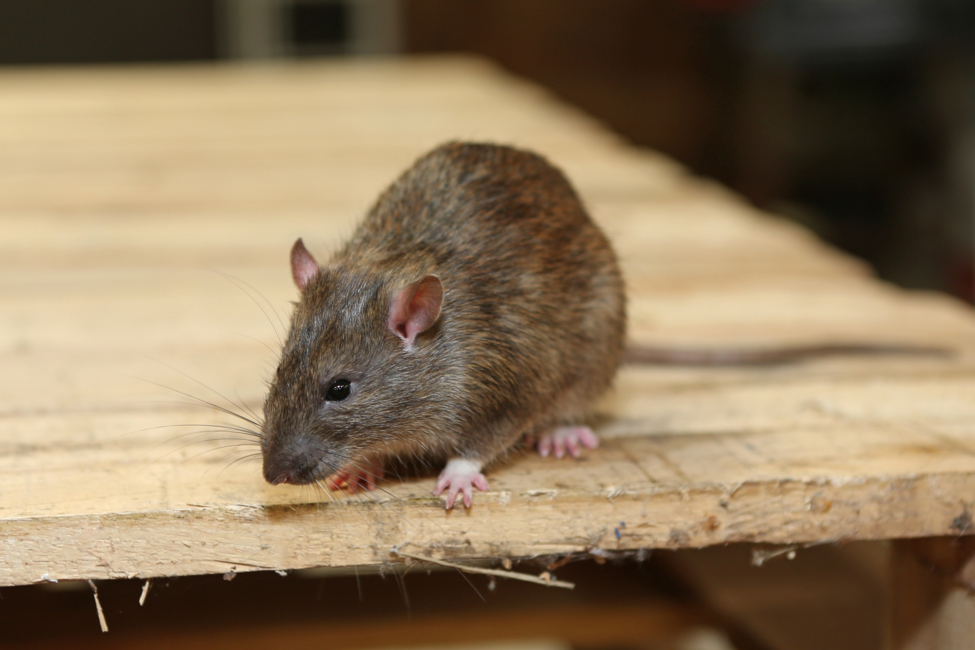 Rat Infestation, Pest Control in Leyton, E10. Call Now 020 8166 9746