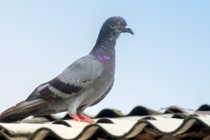 Pigeon Pest, Pest Control in Leyton, E10. Call Now 020 8166 9746
